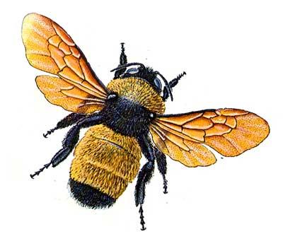 Bumblebee imposter Zeebeemans Blog