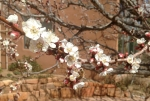 Apricot blossoms and bees
