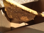 Placing the comb into the carrying box. It's not a full comb of brood but enough to keep her bees busy.