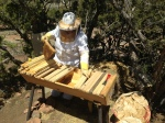 Jannine placing the comb into her hive.